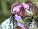 Дикорастущие цветы Байкальских побережий и гор