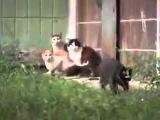 Кот и кошки в ужасе, их напугала крыса