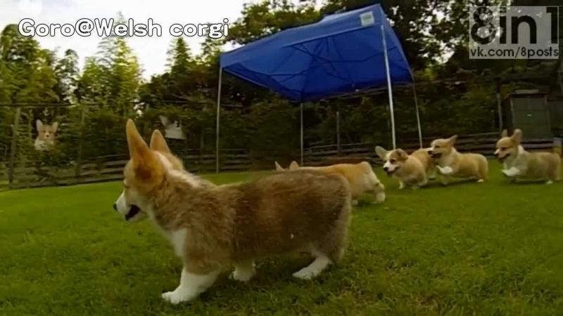 Щенки корги преодолевают препятствия в слоу-моушн Rocky Puppies cute corgi puppies on grass Goro@Welsh corgi channel コーギー子犬