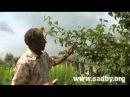 Летняя обрезка плодовых деревьев. Часть 1 || Ландшафтный Дизайн