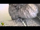 Screech Owl Bathed and Blow Dried