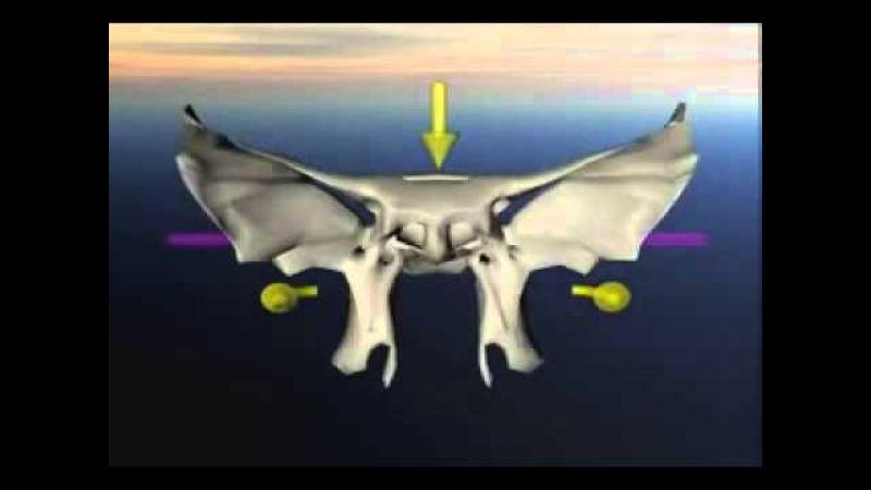Краниосакральный ритм движения клиновидной кости.