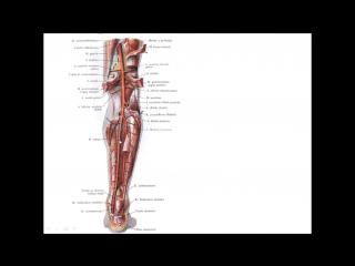 Артерии нижней конечности.pptx