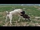 Собачьи бои 2015 АЛАБАЙ - Туркменистан #1