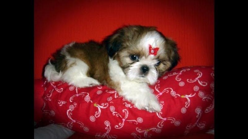Ши-тцу (Shih Tzu). Породы собак (Dog Breed) » Freewka.com - Смотреть онлайн в хорощем качестве