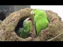 Blue-winged parrotlet / Синекрылый воробьиный попугайчик / Forpus xanthopterygius