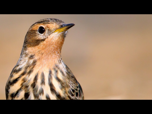 Red-throated Pipit / Конёк краснозобый / Anthus cervinus