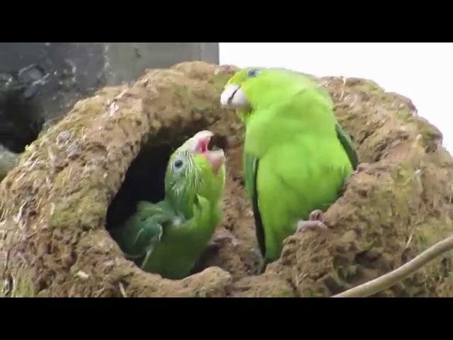 Blue-winged parrotlet / Синекрылый воробьиный попугайчик / Forpus xanthopterygius » Freewka.com - Смотреть онлайн в хорощем качестве