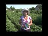 Фантастический урожай картофеля! Применяли препарат Байкал ЭМ 1