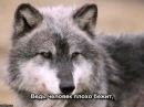 Волчонок - А.Маршал
