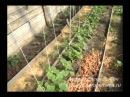 Выращивание огурцов. Огурцы в парнике.
