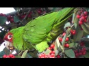 Cherry headed Conures aka Red masked Parakeet in Lafayette Park eating Pyracantha berries