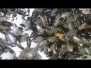 Колония мраморного таракана / Colony Nauphoeta cinerea