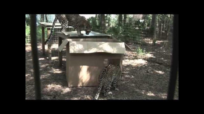 Big Cats vs Box. Лев в коробке!