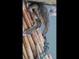 Полосатый варан (свиноваран) против большого питона