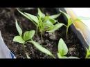 Посев семян перца на рассаду