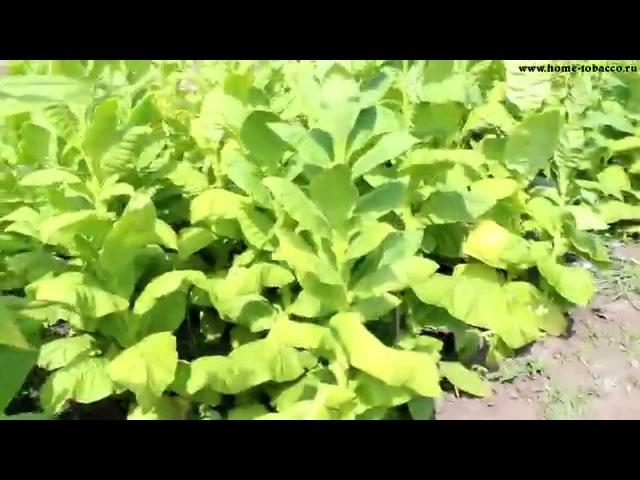 ТАБАК | Уборка урожая табака (первая ломка листа). Обзор плантации 19 Июля 2015г