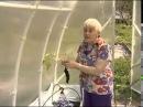 Выращивание помидоров без полива.Приятного просмотра Помидоры без полива.