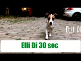 Elli Di 30 sec. Вечерняя прогулка с собакой. Джек рассел играет в мяч.