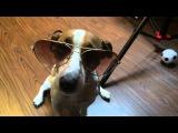 Elli Di 30 Sec. Собака и очки. Джек рассел терьер модный look. Ray Ban для собак.