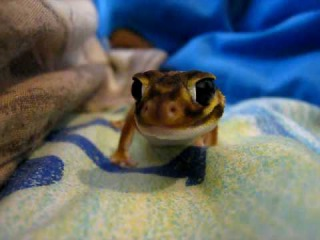 Nephrurus levis Pilbarensis Smooth Knob-tailed Gecko - Licking