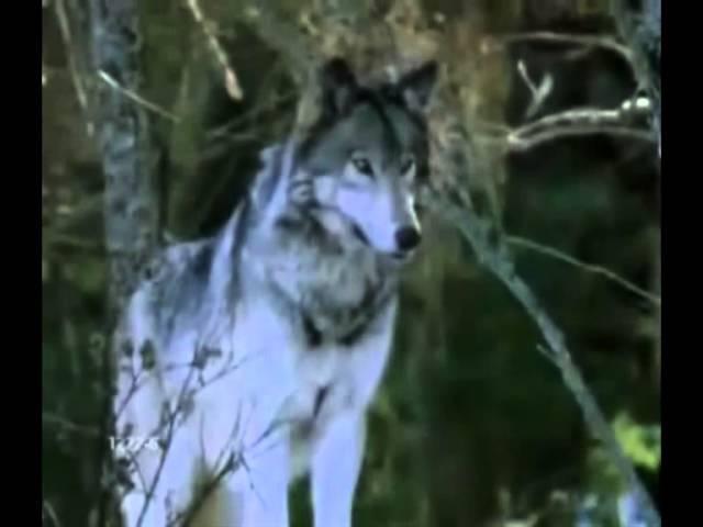 Клип-Одинокий волк-01-04-2013г.S_V_N_;;.
