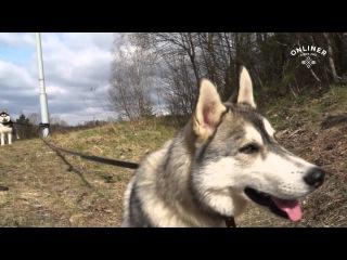 Массовая тренировка ездовых собак под Минском: репортаж onliner