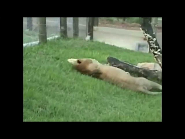 Лев, врятований з цирку, божеволіє від щастя небаченої ним свободи!