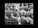 Богучар, Бакинские столбовые бойные голуби