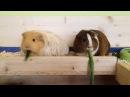 Морские свинки и спагетти из огурца