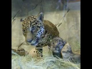 Мама ягуар показывает миру своего детеныша