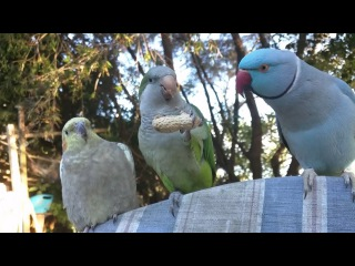 Жадный попугай не хочет делиться арахисом