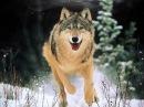 КАК ОХОТЯТСЯ ВОЛКИ. удивительный животный Мир Волчья охота