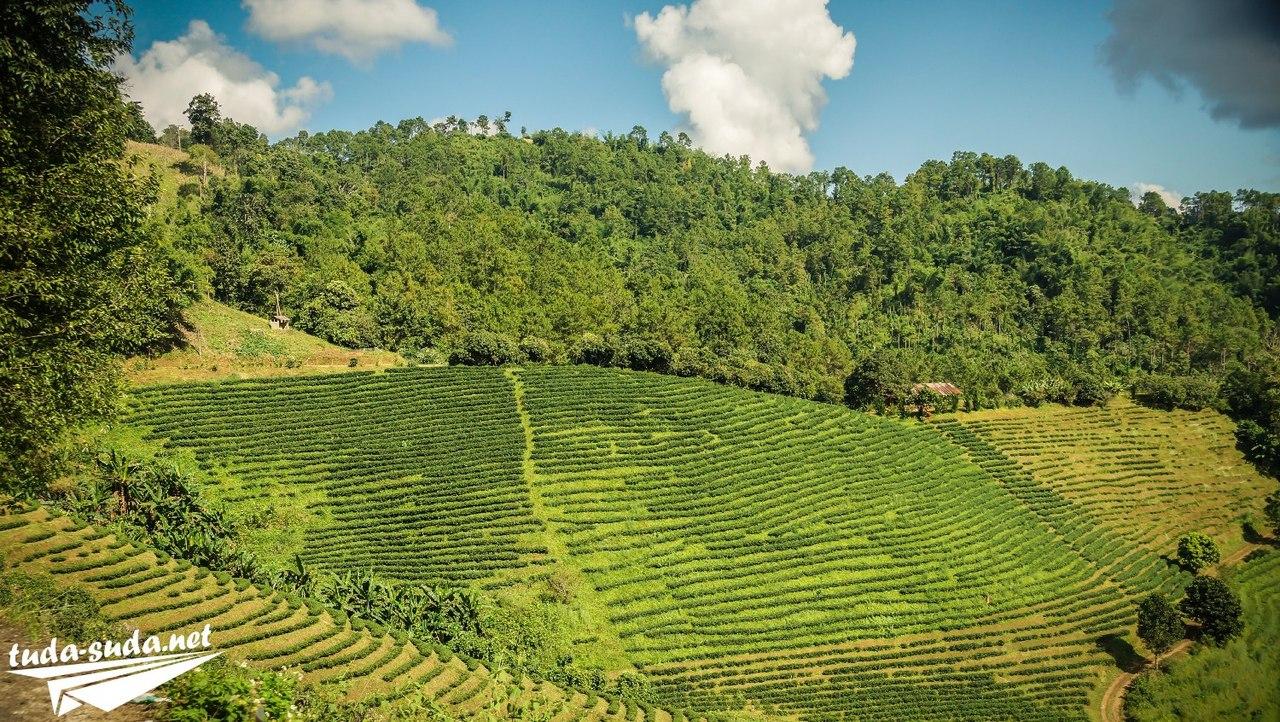 Чайные плантации - Мае Салонг
