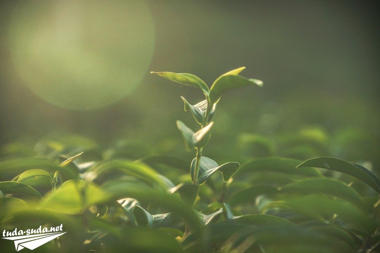 Как растет чай фото