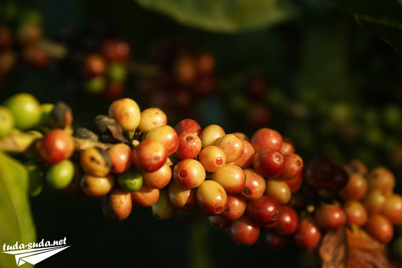 Как растет кофе фото