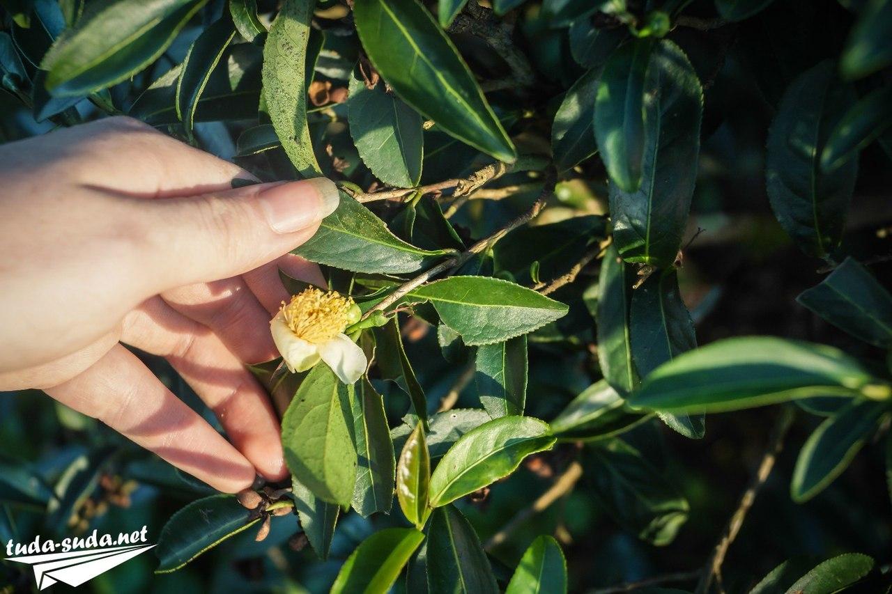 Цветы чайного куста фото