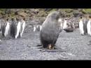 Тюлень изнасиловал пингвина