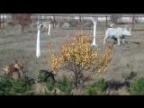 Львиный прайд 25.10.2015 Крым