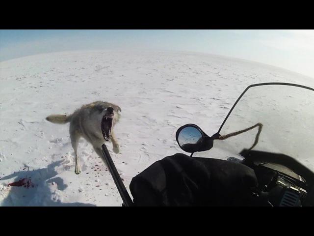 ТРЕЙЛЕР Степные охотники 4 2 охота на волка Wolf hunting