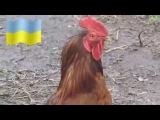 украинский петушиный хор
