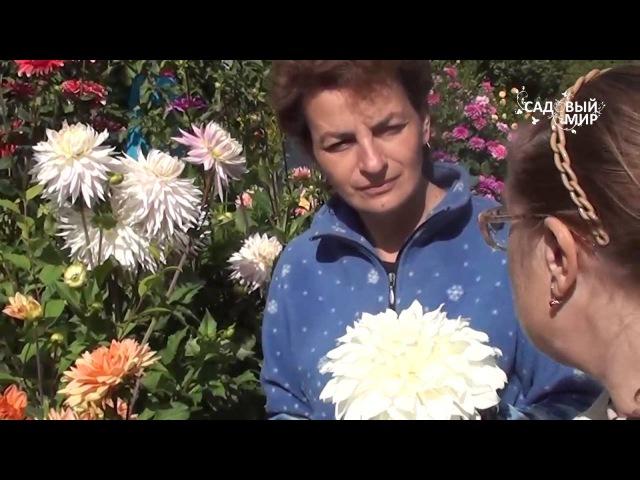 Георгины на шести сотках. Коллекция М В Агаревой. Сайт Садовый мир