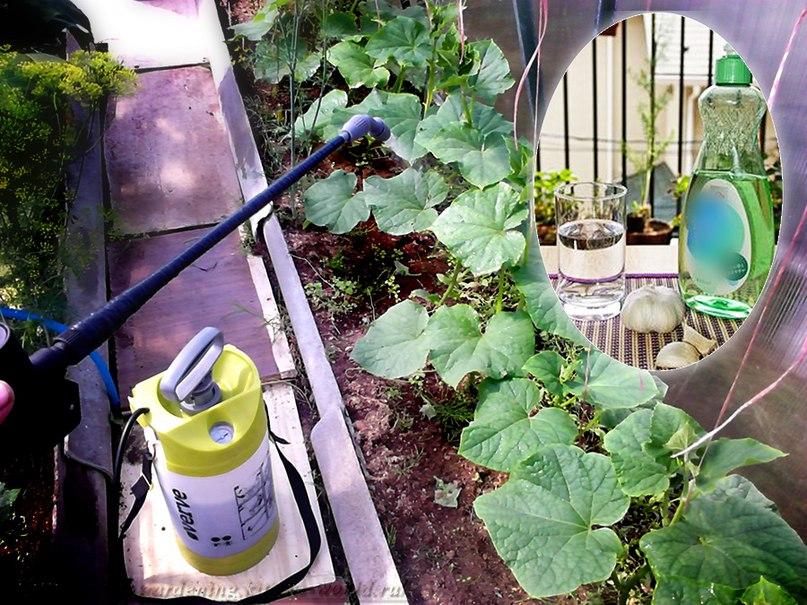 Защита растений от насекомых вредителей народными средствами