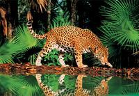 Пазл 1000 элементов. леопард у воды, Step Puzzle (Степ Пазл)