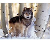 """Пазл """"волк"""". 1500 элементов. арт. 31955, Clementoni"""