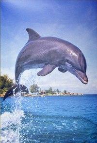 """Пазл """"дельфин"""" (500 элементов), Castorland"""