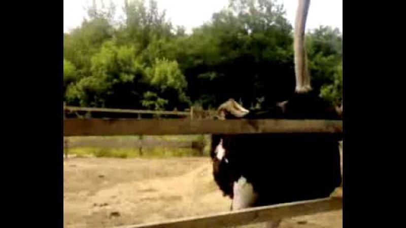Гопник общается со страусом