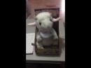 Поющая овечка!