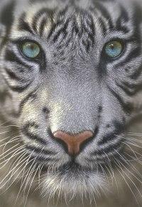 "Пазл ""белый тигр"" (500 деталей), Educa"