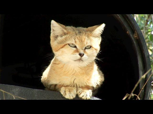 Meet Canyon the SAND CAT!